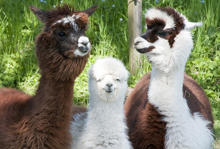 Three alpacas in a field showing different fur colors and lengths