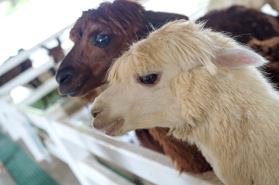 headshot of two alpacas white and brown
