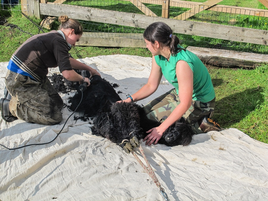 black alpaca being sheared by two women workers on a farm
