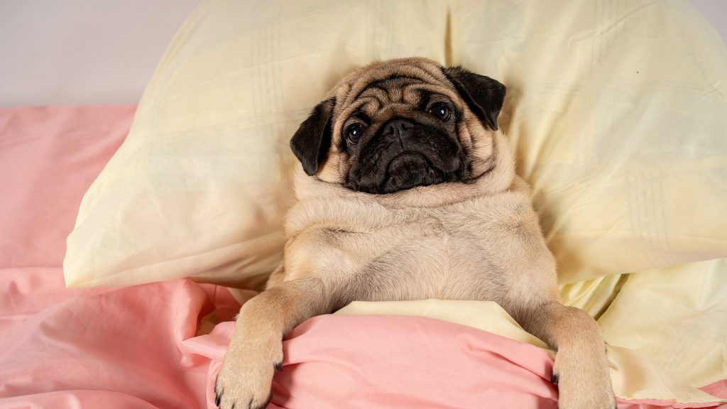 Close up face of cute pug dog breed lying on a bed with a sad pug face on an old worn out pillow